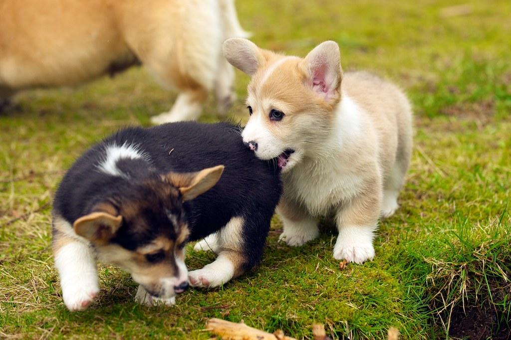 corgi puppies 34