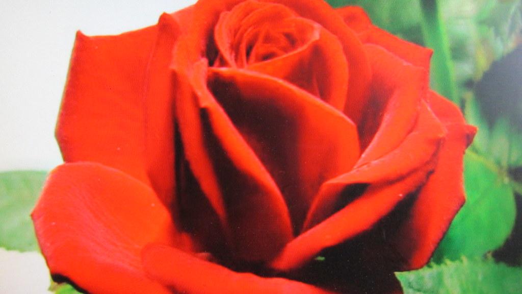 Rose De L Amour Rose Rouge Belle Rose A Recevoir Pour Tous Flickr