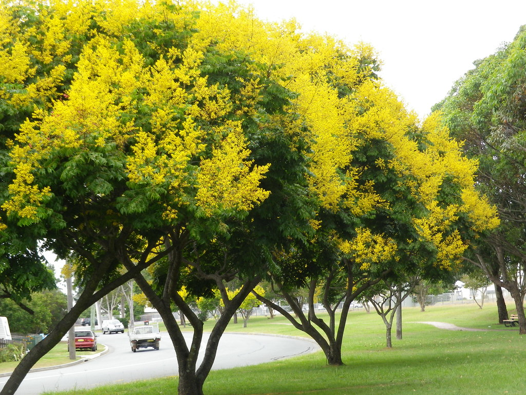 Yellow Flowering Trees 89365 I Just Had To Stop The Car A Flickr