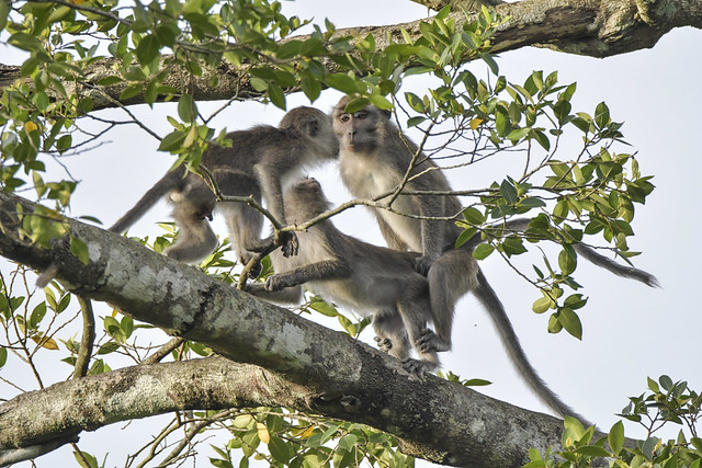The long tailed macaque trying his best to expand his troop through some rigorous extra curriculum activity.