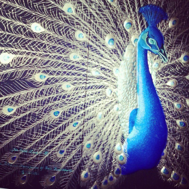 Most Beautiful Peacock Ever Christinead Flickr