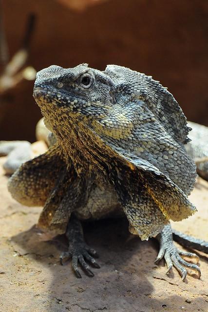 K Dragon Lizard chlamydosaurus ...