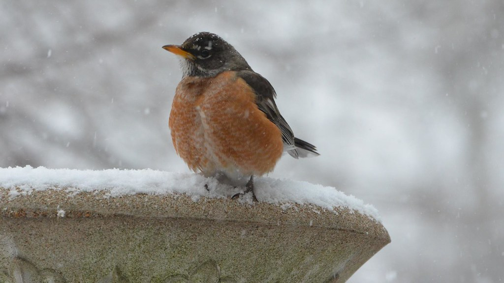 American Robin 2 21 13 At Mom And Dad S House On A Day