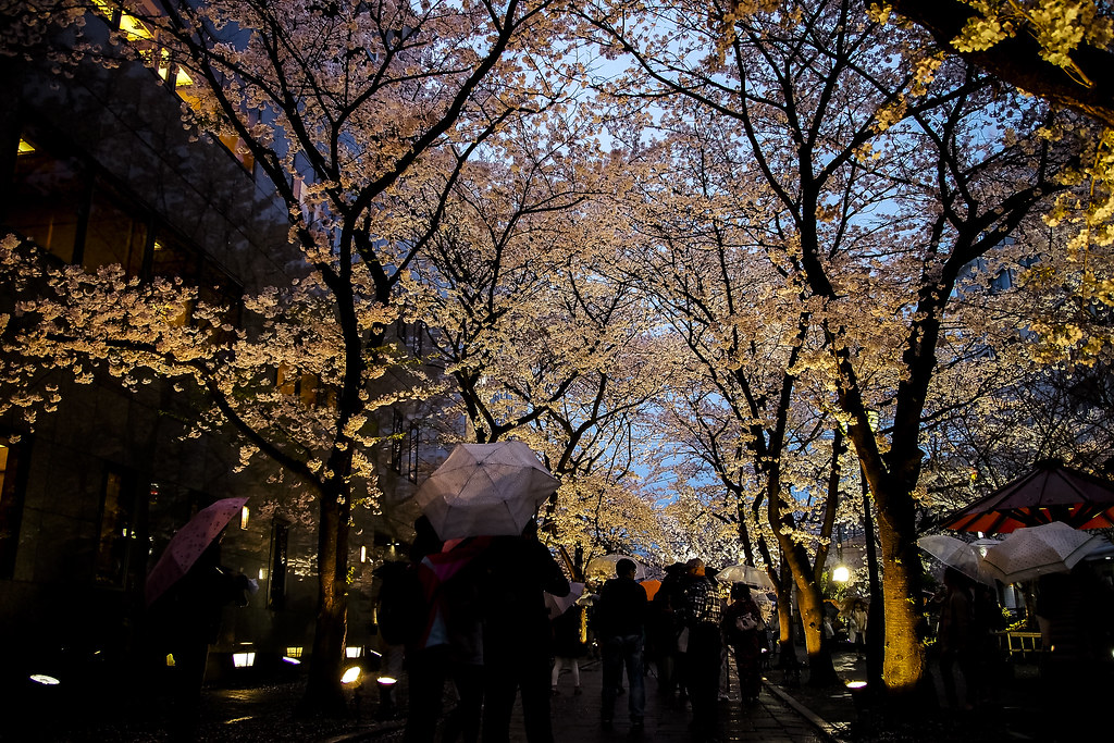 Gion and the night and the sakura