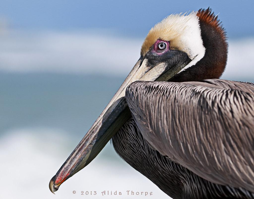 Pelican Jobs pelican face | Florida...