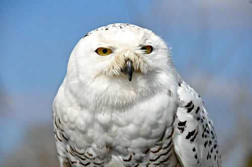 snowy owl with anthropomorphized expression that reads
