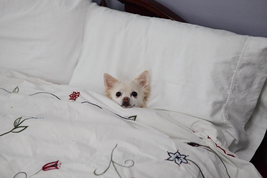 Resultado de imagen para chihuahua in bed