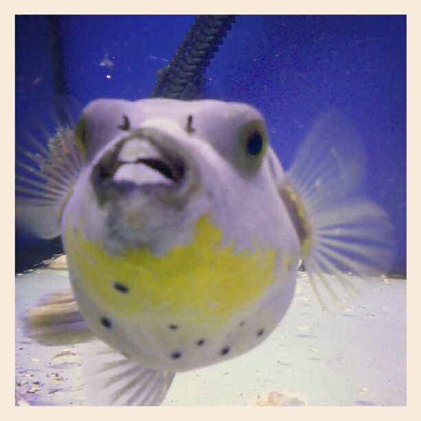 My old friend the yellow bellied dog face puffer fish flickr for Dog face puffer fish