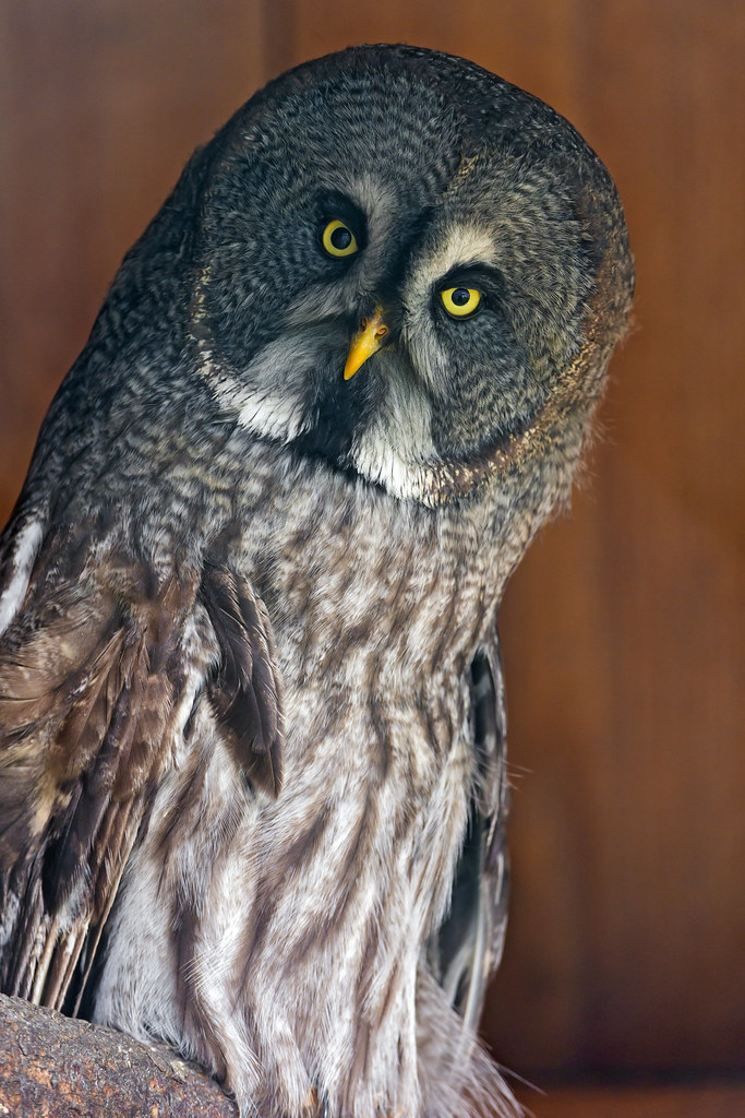 Owl with tilted head | A funny picture of a great gray owl ...