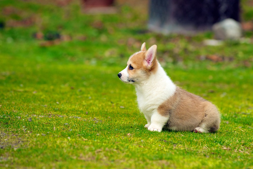 Corgie Dog Puppy