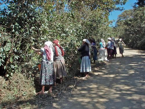 women picking coffee