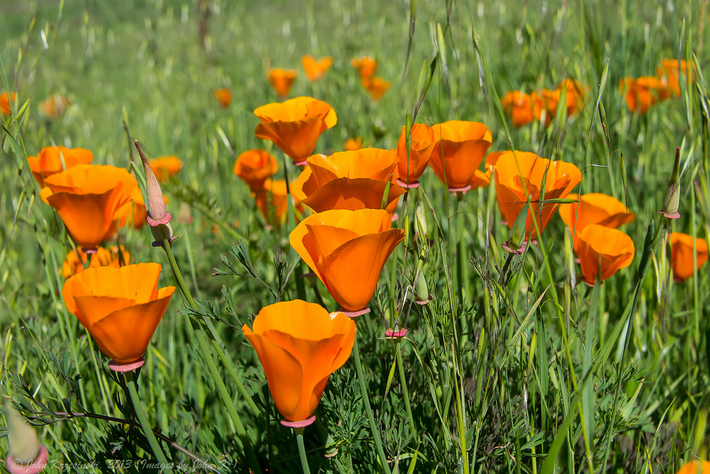 spring flowers california wild poppies california wild  Find image