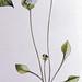 Winterpostelein / Indian lettuce / Claytonia perfoliata