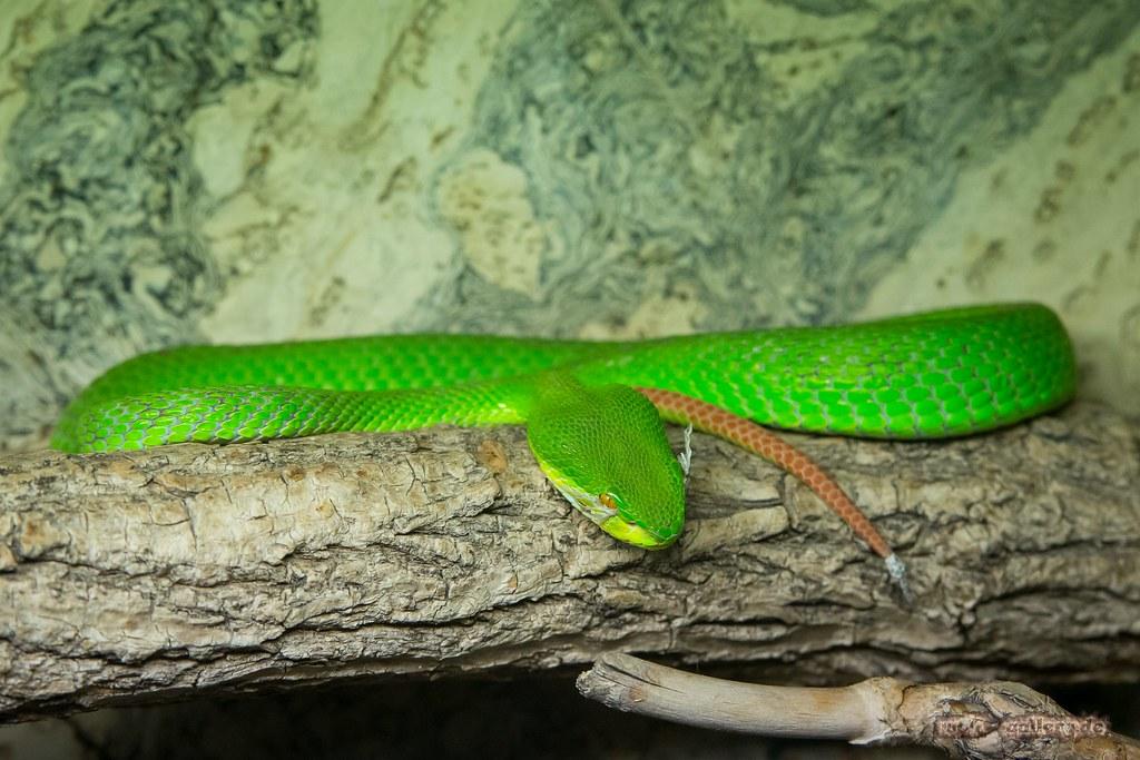 Grune Bambusotter Green Pit Viper Aufgenommen Im Reptili Flickr