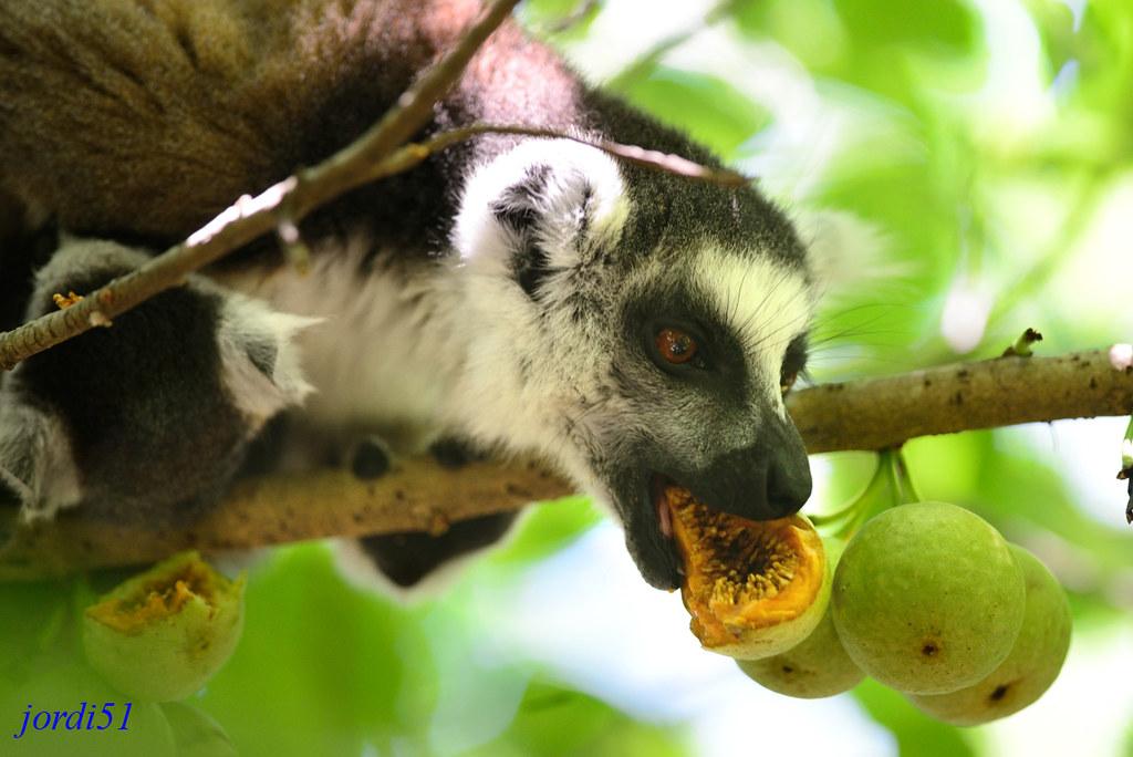 Q Son Los Lemures Lémur de cola ani...