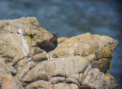0142_Black Oystercatcher_Mendocino Headlands 04-03-13_resized | by steveAK