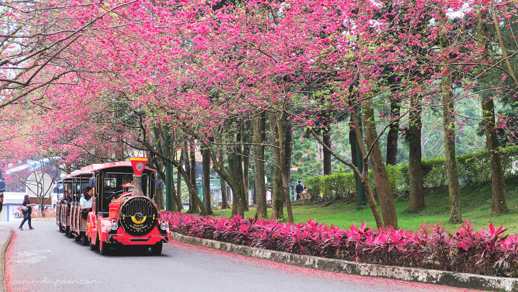 cherry-blossoms-formosan-aboriginal-culture-village-taiwan-travel-sammdaysoon