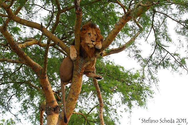 Tree climbing lion - Queen Elizabeth National Park, Uganda