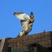 Red-tailed Hawk_021