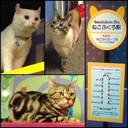 Tokyu Hands Ikebukuro Cat Cafe