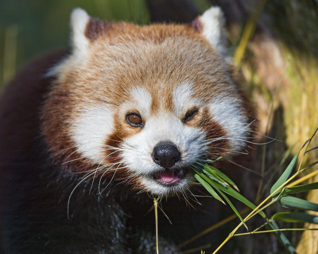 cute red panda eating iv last picture of the red panda