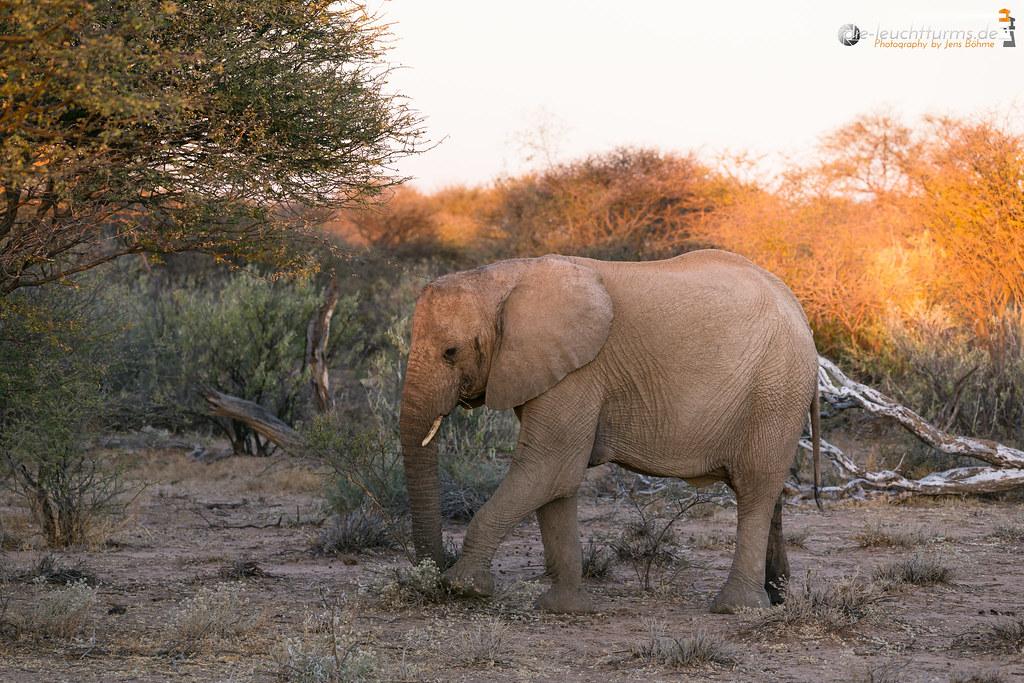 A young bull elefant