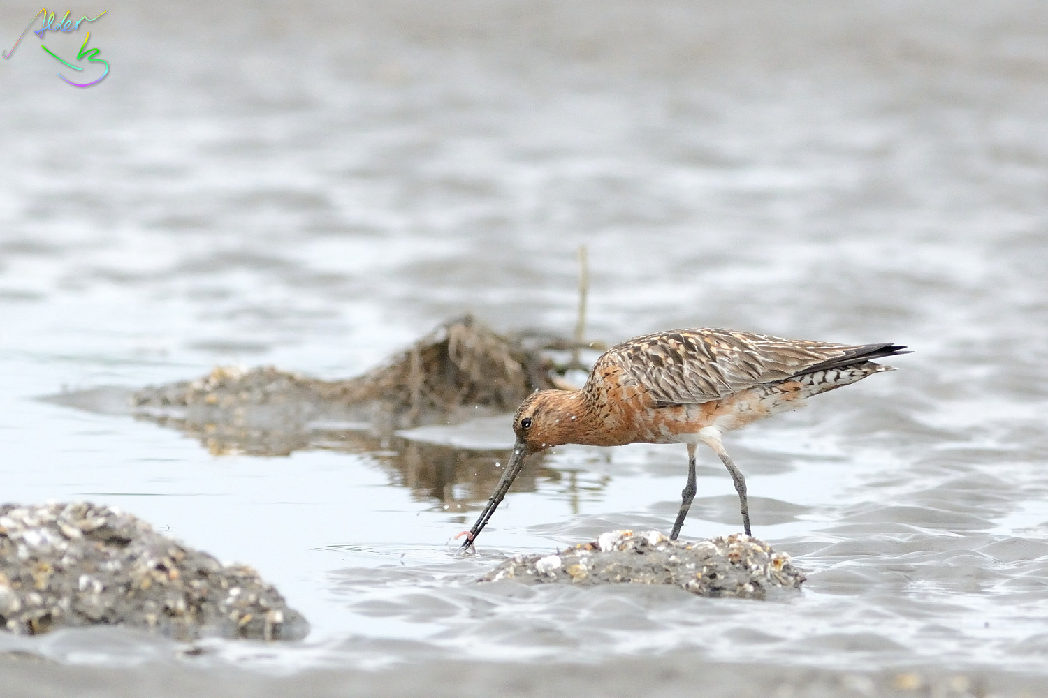 Bar-tailed_Godwit_0553