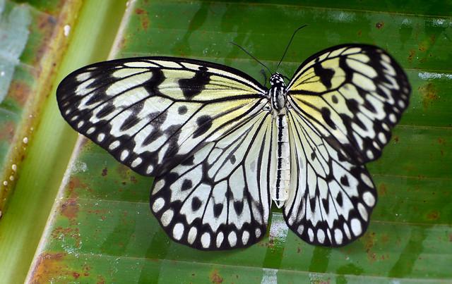 Paper Kite.Malaysia. (9)
