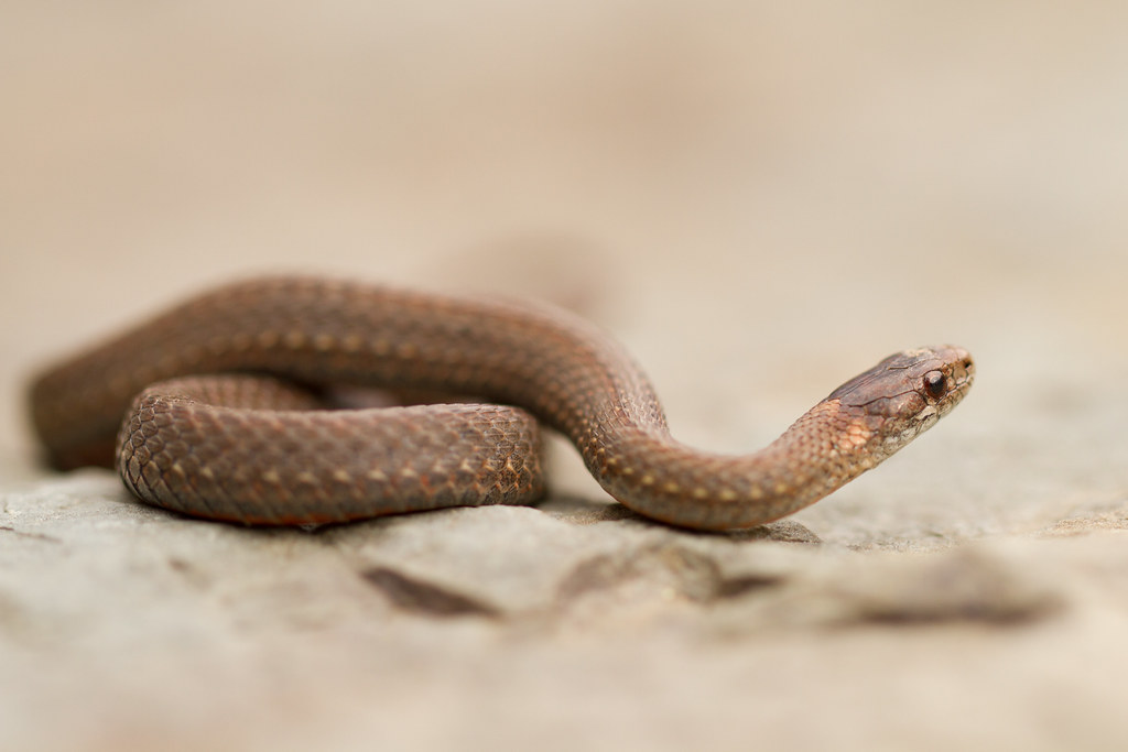 Northern Red Bellied Snake Storeria Occipitomaculata Occipitomaculata Red Bellied Snake Storeria