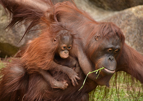 Orangutan parent and baby | by TK's photography