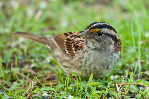 White Throated Sparrow From A Blind In Backyard A
