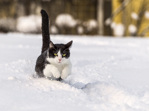 Oskar running in the snow I | by Tambako the Jaguar