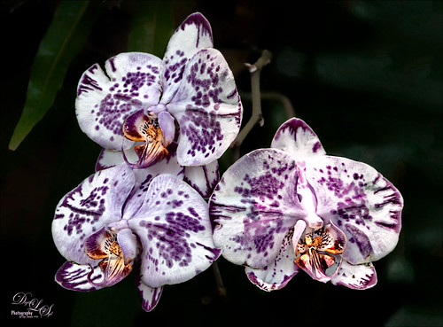 Image of three Purple Orchids from the Harry P. Leu Gardens in Orlando, Florida