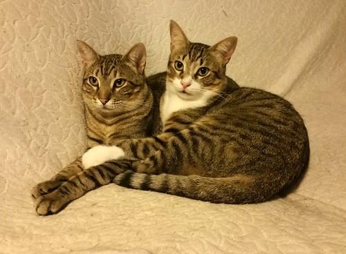 Cotton y Cobby, gatos pardo y blanquipardo inseparables, nacidos en Febrero´15, necesitan adopción Conjunta. Valencia. 29568915535_0de84a8809