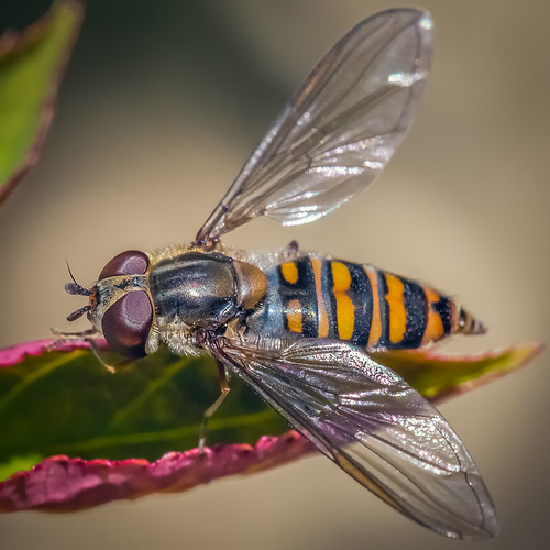 Fly Guy - 365
