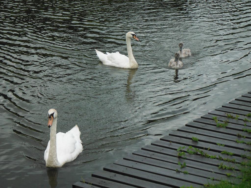Swan Family 6