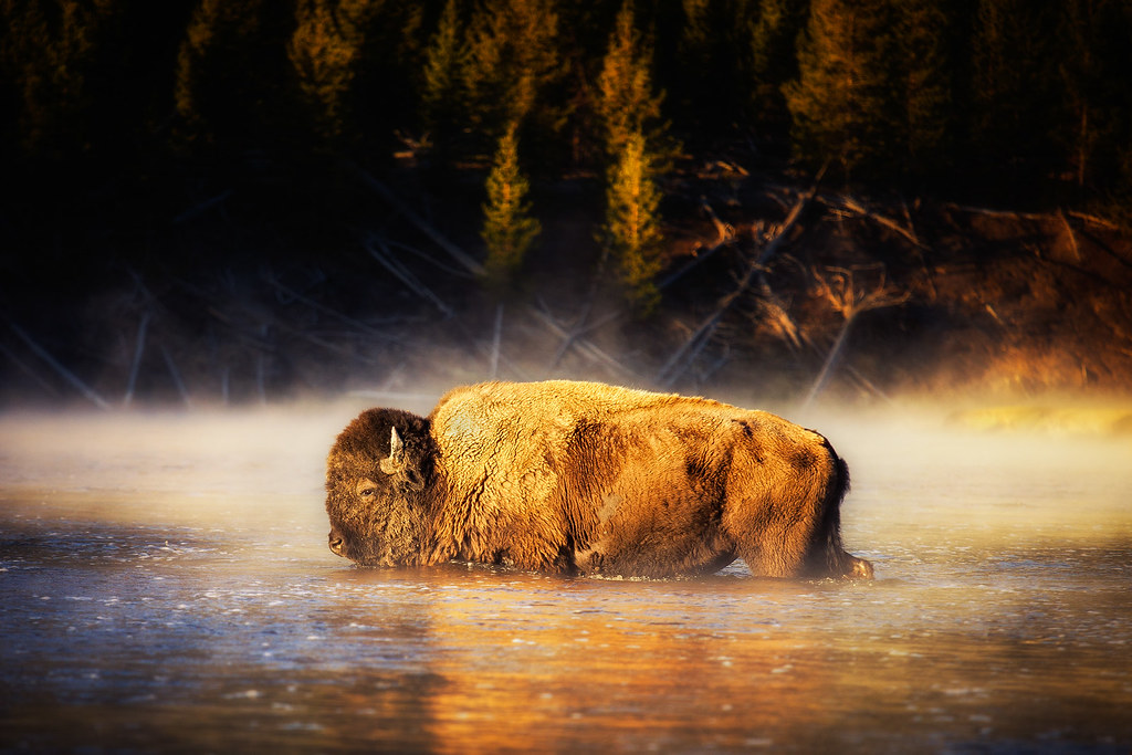 Bison In The River In Yellowstone By Michael Matti Flickr
