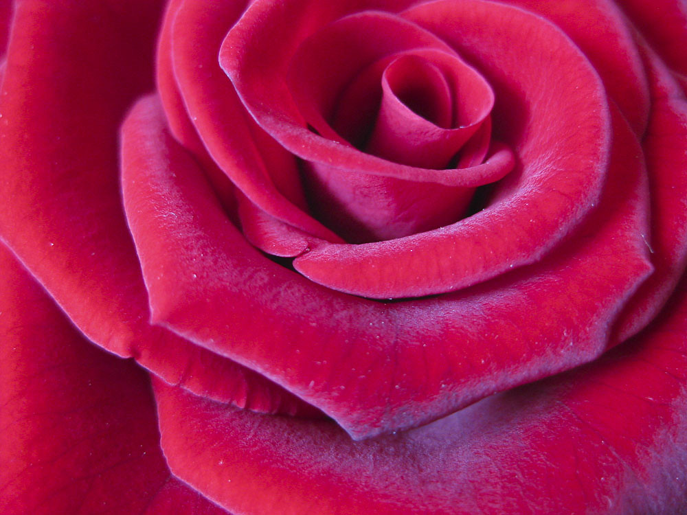 Rose petals close-up | Beautiful rose background found on ww ...