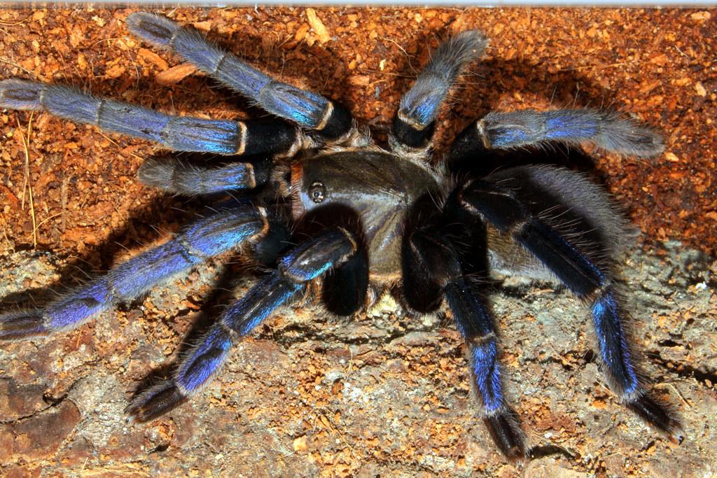 Cobalt Blue Tarantula Web Tarantula Cobalt Blue
