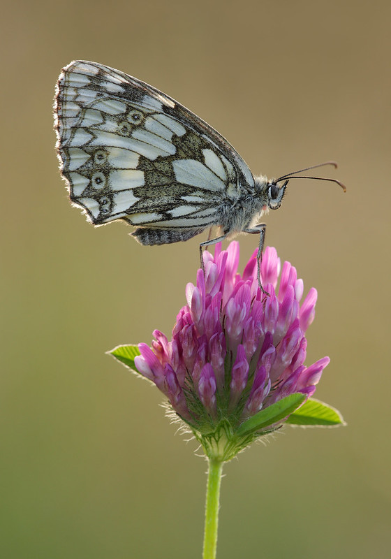 Marbled White on Red Clover