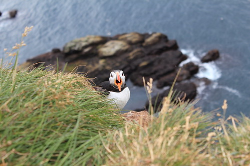 Puffin's shout | by look_at_em_Poe
