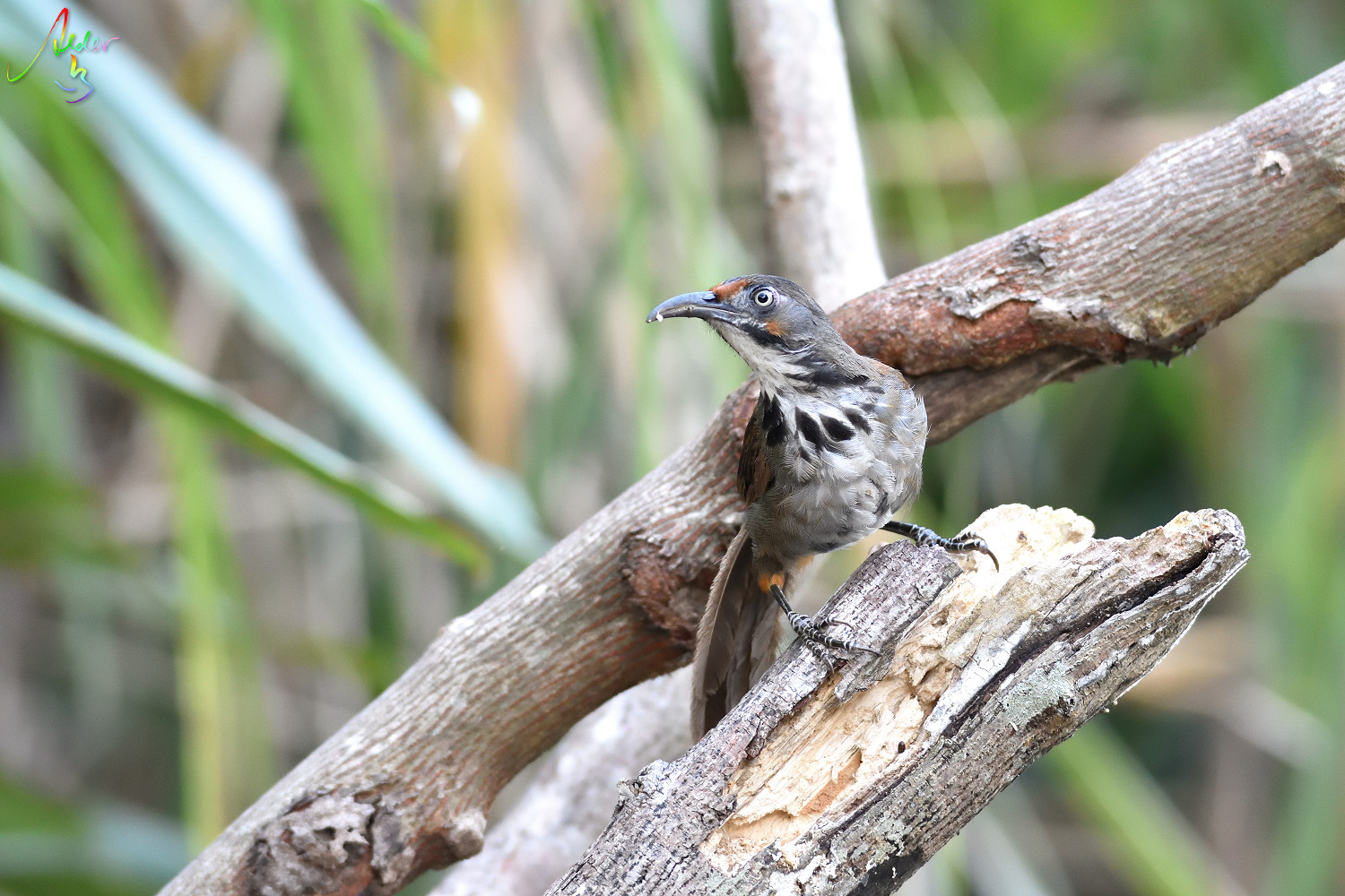Rusty-cheeked_Scimitar_Babbler_4944