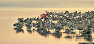 Spoonbill-in-a-Flock-of-Sandpipers-Ding-Darling-Sanibel-Island | by Captain Kimo