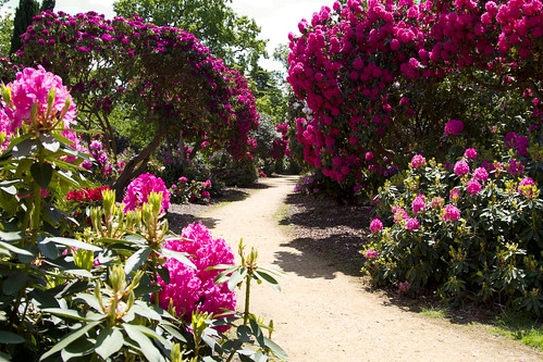 """Heavenly Path"" Rhododendrons a blaze at Temple Gardens Langley Country Park Billet Lane Iver Heath Iver SL0 0LS. 
