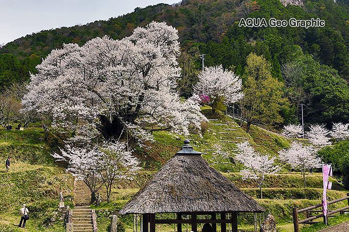 仏隆寺(佛隆寺)の千年桜 | 仏...