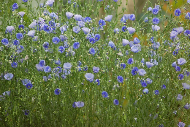 Blue flax flowers floating on a sea of green foliage