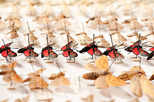 Moths in an insect drawer | by Leeds Museums and Galleries