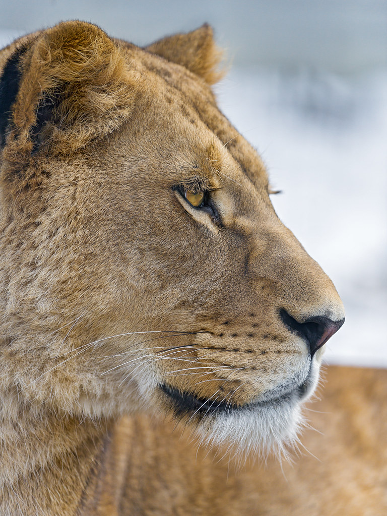 Image Gallery lioness side profile