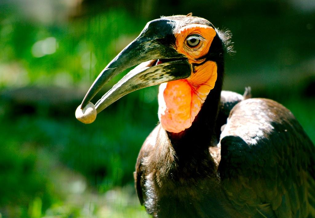 Southern Ground Hornbill_7