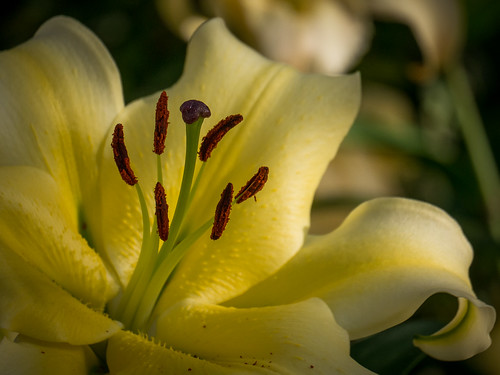 Panasonic Lumix G5 Test: Shaded Lily | by Entropic Remnants